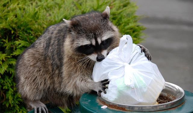 raton-laveur-poubelles.jpg